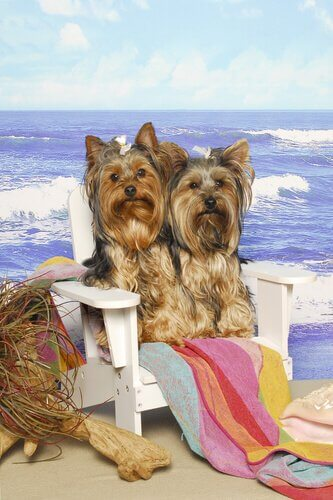 Cães Yorkshire na praia