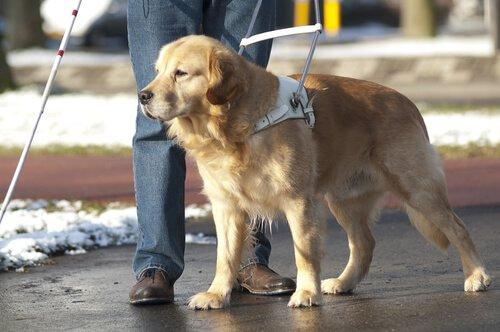 Cão-guia: como é a vida deste animal?