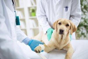 Cachorro tomando soro no veterinário