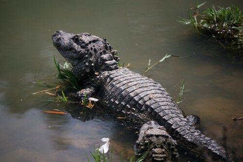 5 animais que vivem no pântano: conheça-os aqui