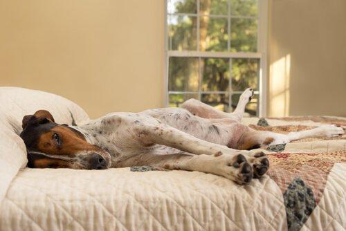 cão deitado na cama