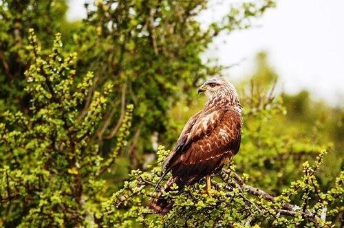 Águia de asa redonda: características, comportamento e habitat