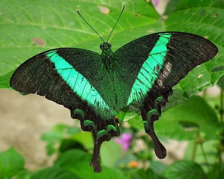 Borboleta esmeralda