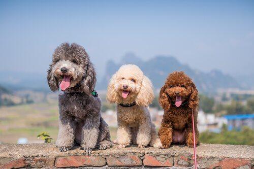 Cães poodle
