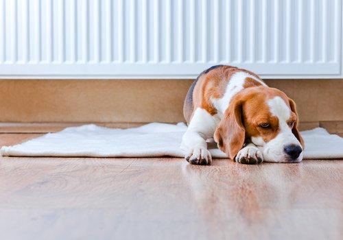 Tratamento da febre em cães