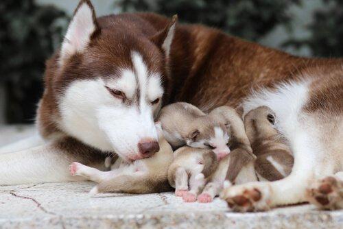 filhotes de husky com a mãe