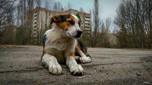 Cachorro na cidade abandonada de Chernobyl
