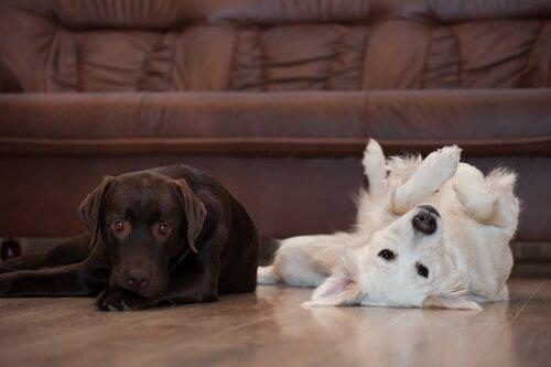 Cachorros na sala