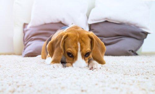Cachorro escondendo rosto no tapete