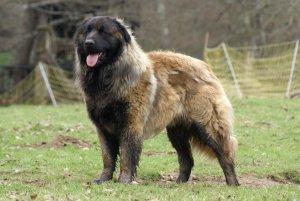 O cão da Serra da Estrela