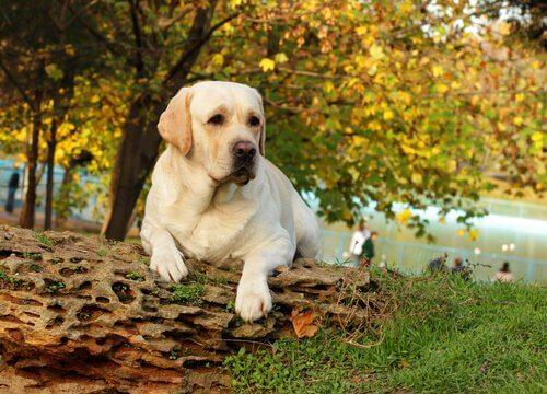 Labrador no parque