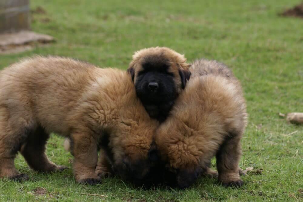 Filhotes do Cão da Serra da Estrela