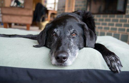 Cachorro idoso