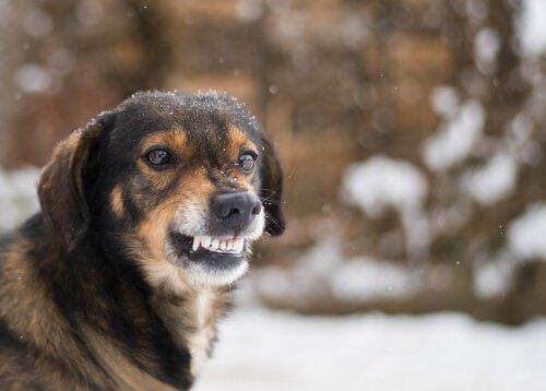 Cachorro na neve mostrando os dentes