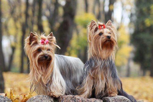 Conselhos para o cio das cadelas