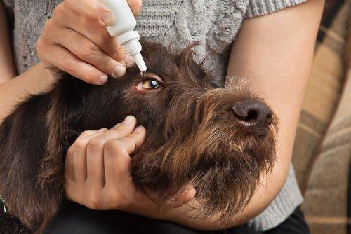 Dona aplicando colírio em cão