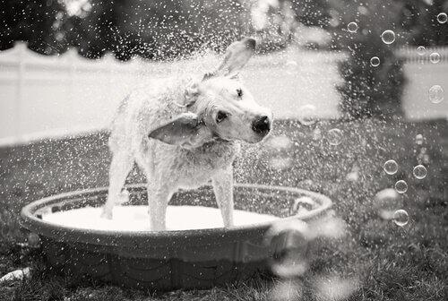 Como dar banho em um cão sem dor de cabeça