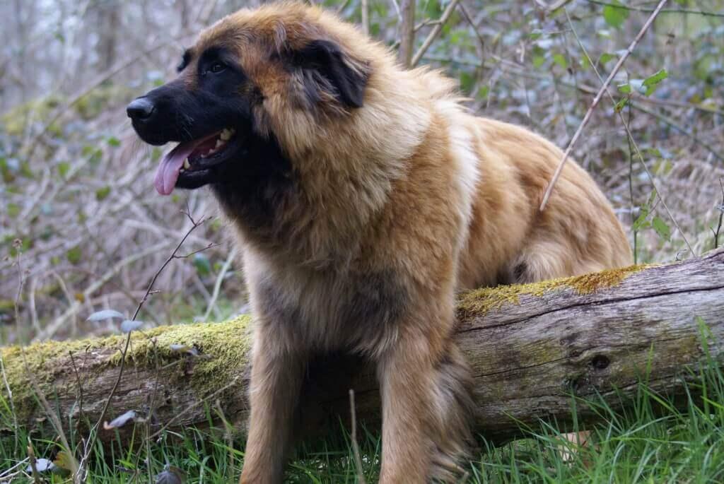 Cão da Serra da Estrela adulto