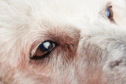 Primeiros sintomas da conjuntivite em cães e o que fazer