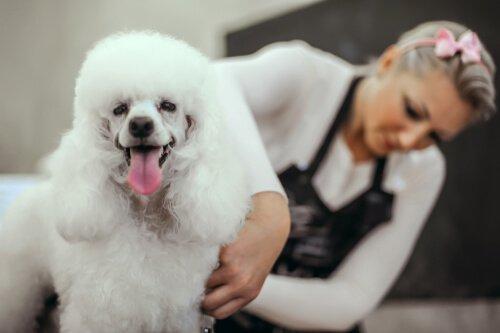 Cachorro poodle sendo tosado: quando cortar o pelo do seu cão?