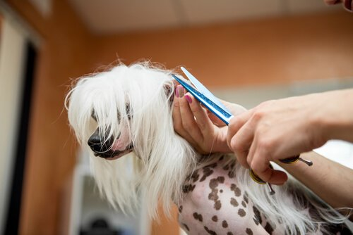 A primavera está chegando, quando cortar o pelo do seu cão?