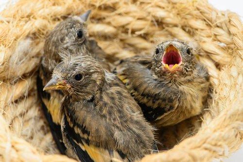 Como alimentar um filhote de pintassilgo
