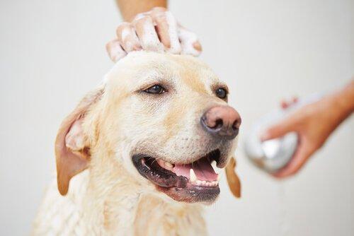 Faz mal dar banho em uma cadela no cio?