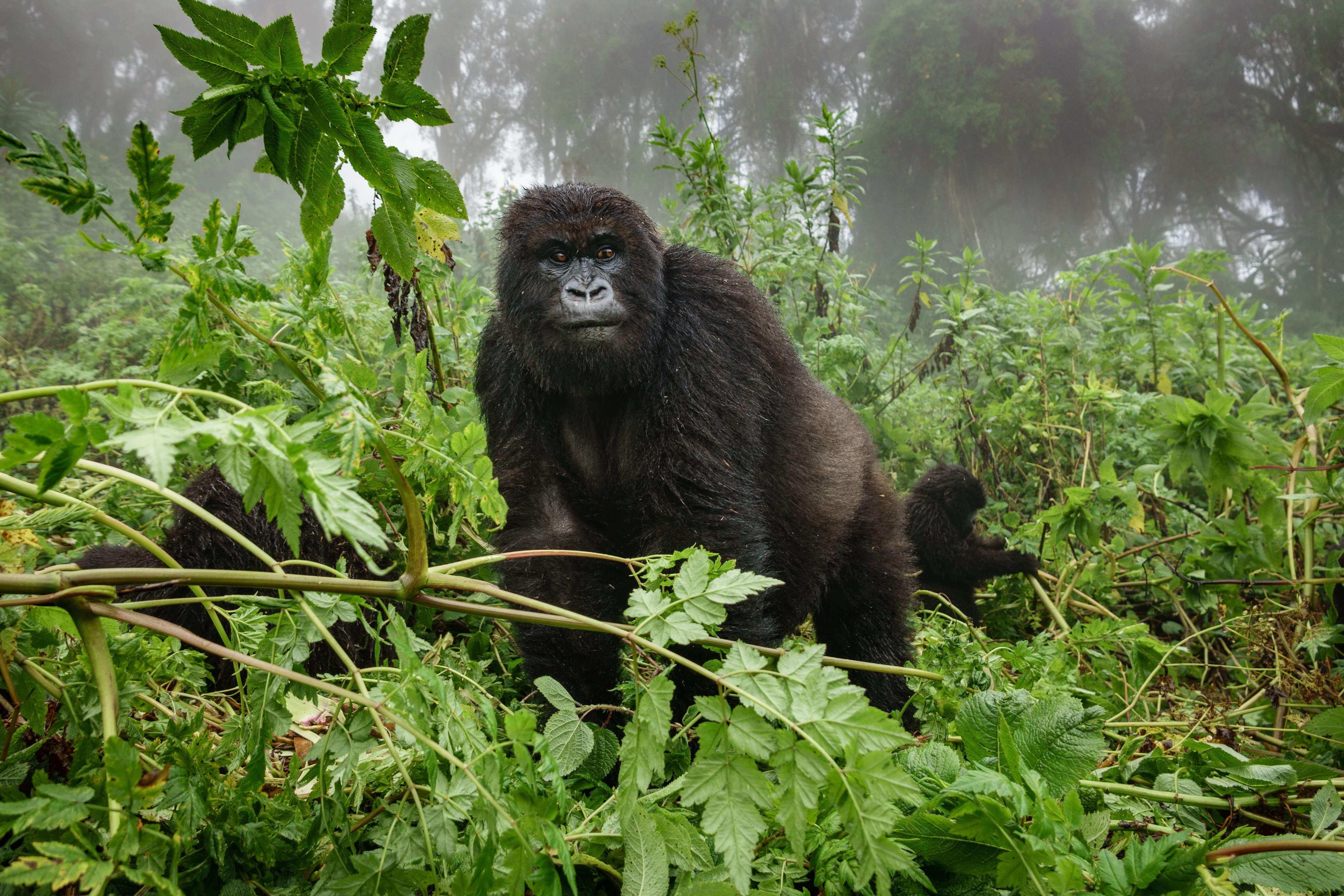 Gorila na selva africana