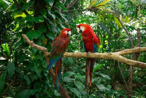 Casal de papagaios