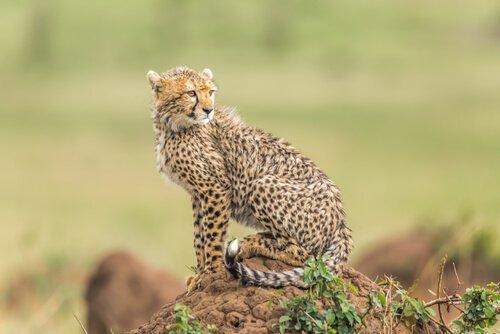 8 espécies de felinos