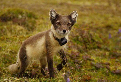fauna da tundra
