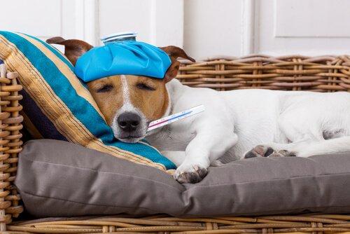 Sintomas da febre em cães