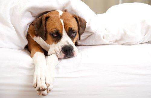 Como baixar a febre de um animal de estimação