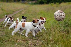 Filhotes do Foxhound americano