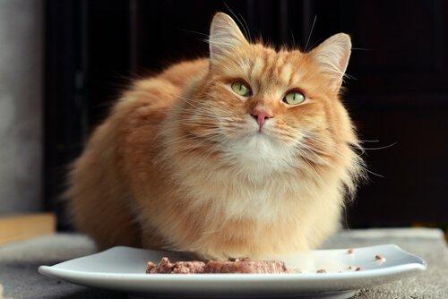 Gato comendo patê