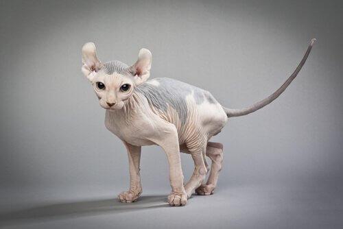 Gato Elfo, um gatinho careca e de orelhas curvas