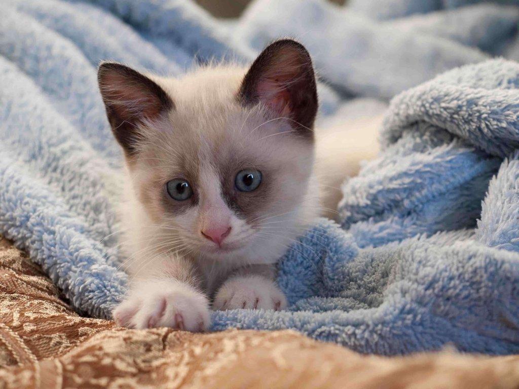 filhote de gato snowshoe