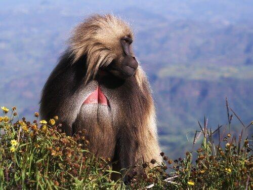 Macaco gelada