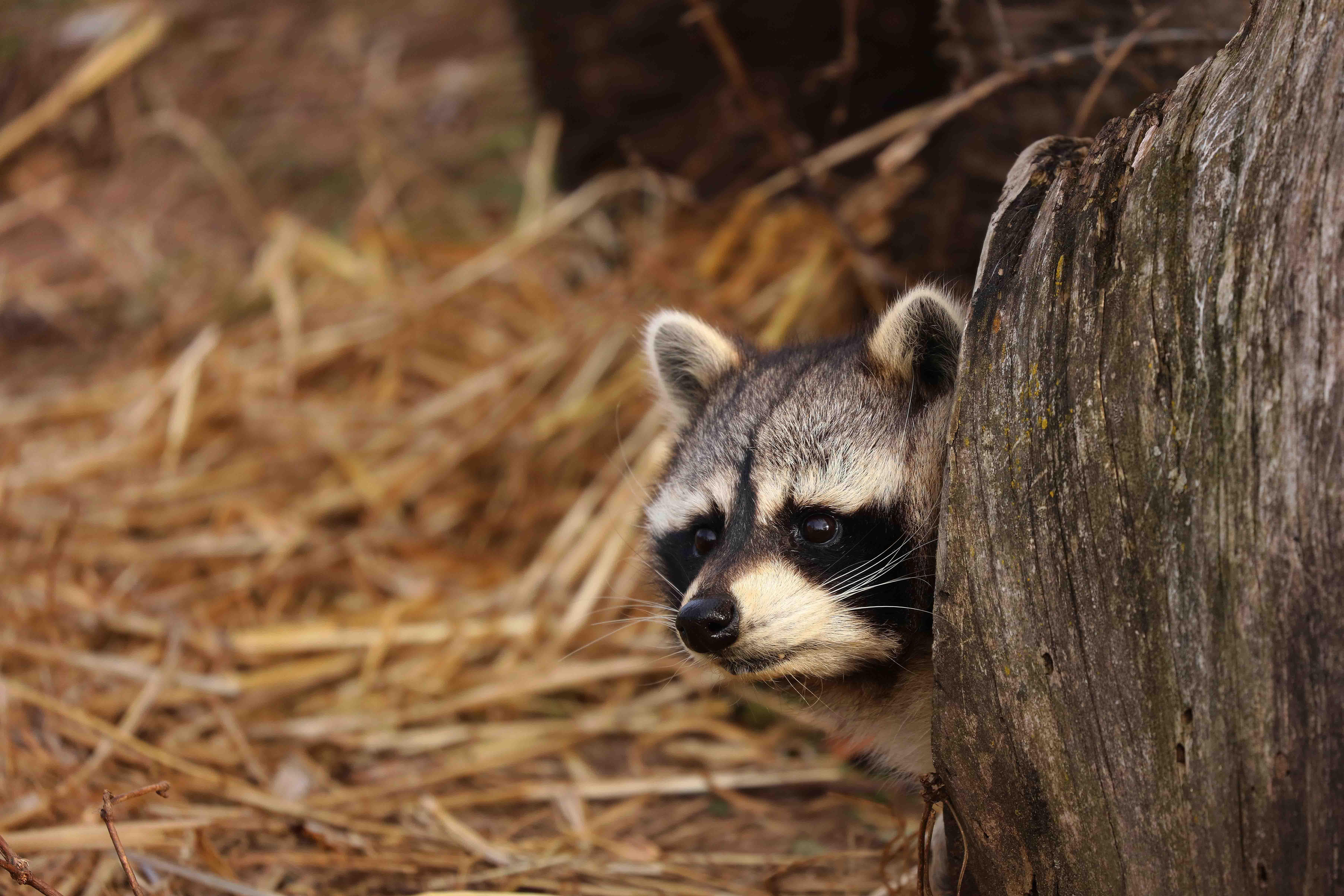 Guaxinim: características, comportamento e habitat