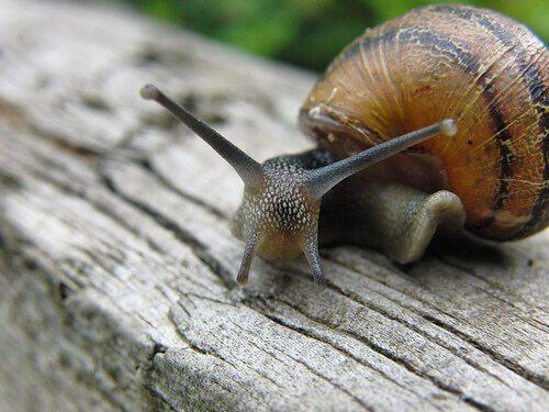 O caracol é um animal hermafrodita