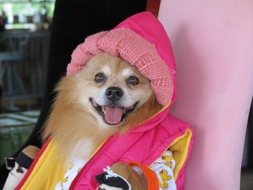 Cachorro usando casaco