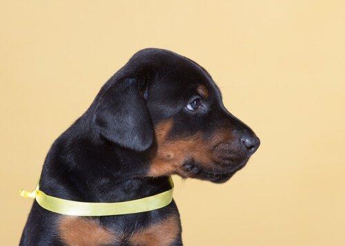 Iniciativa do laço amarelo permite que seu cão tenha seu espaço