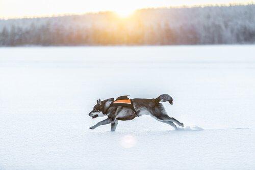 Cachorro Jämhundt correndo na neve