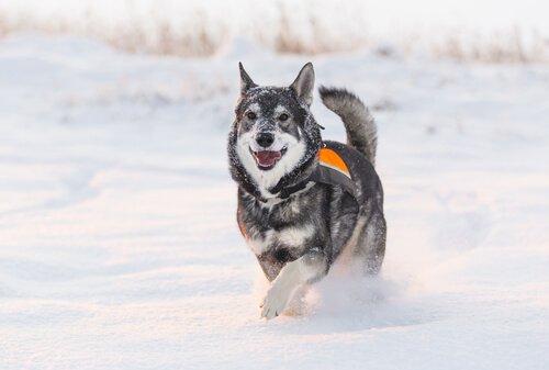 Jämthund, um cão muito parecido com o lobo