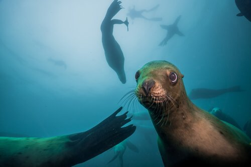 Leão-marinho: comportamento, características e habitat