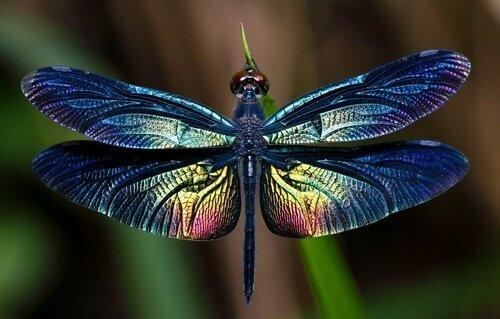 Libélulas: saiba tudo sobre esse incrível inseto