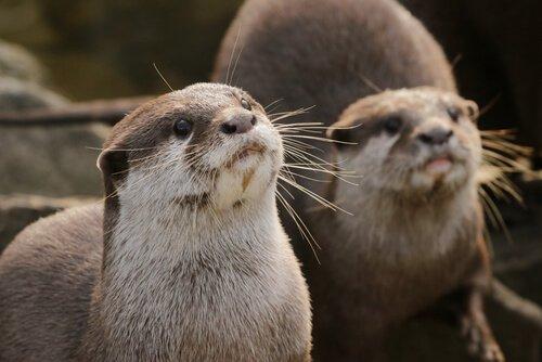 Lontras: características, comportamento e habitat