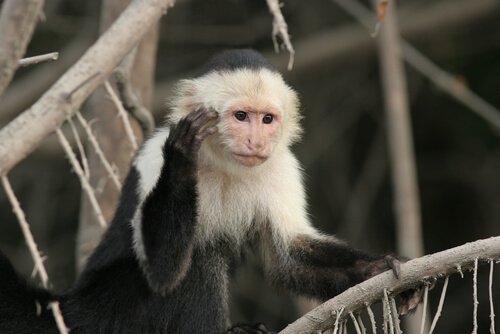 Macaco capuchinho: características, comportamento e habitat