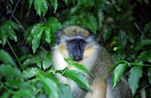 As incríveis habilidades de comunicação do macaco verde
