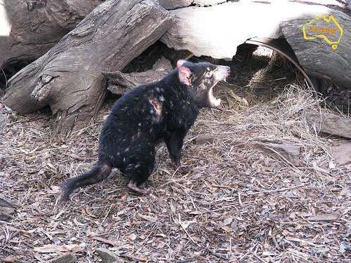 marsupiais: diabo-da-tasmânia